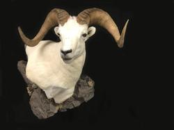 Jones Sheep 4