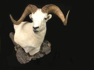 Dall sheep wall pedestal mount