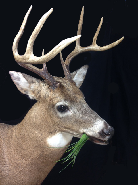 1Whitetail chewing side