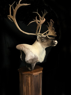 Beautiful white cape on this awesome bull!