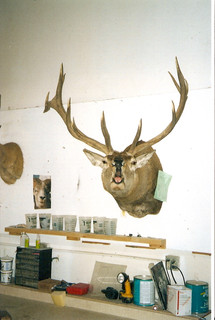 Roaring Red Stag mount
