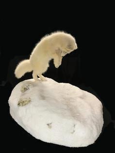 Arctic Fox mousing mount