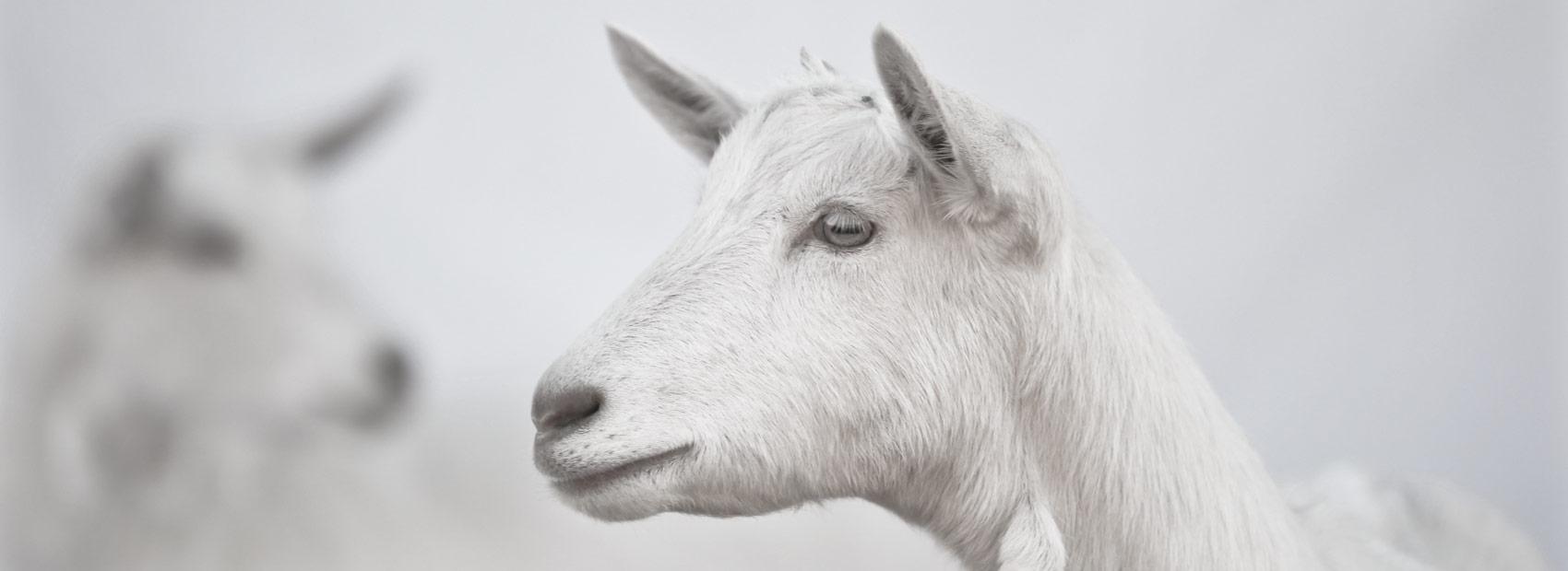 homeslide-goat