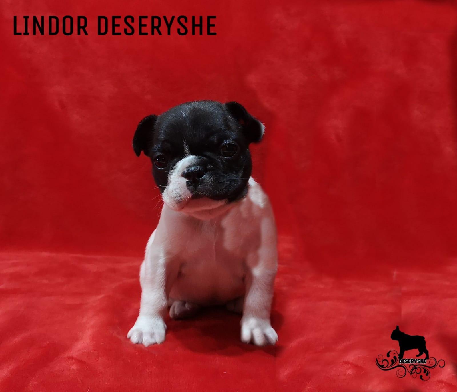 LINDOR DESERYSHE PUPPY