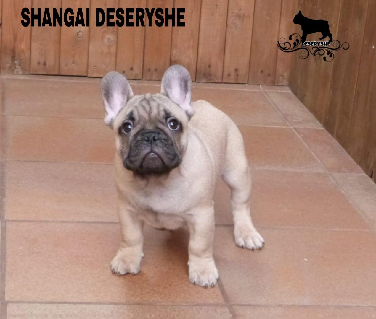 SHANGAI DESERYSHE PUPPY