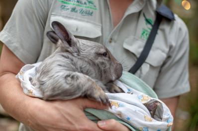 Wombat- Zoofari 2019 - Charlotte Curd