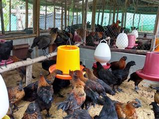 การเลี้ยงไก่โดยไม่ใช้ยาปฎิชีวนะและสารเคมี
