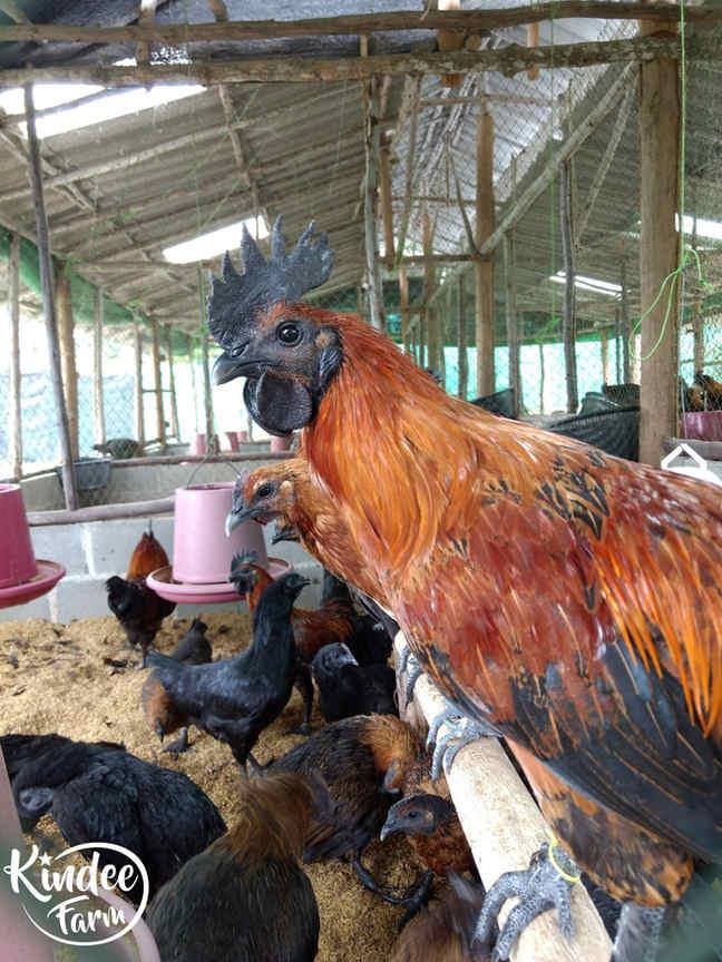 ไก่ดำ เนื้อไก่ดำ สรรพคุณไก่ดำ ไก่ดำตุ๋นยาจีน วิธีทำไก่ดำตุ๋นยาจีน เนื้อไก่ออร์แกนิก เนื้อไก่ออร์แกนิค 7