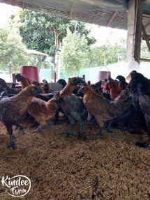 ไก่ดำ เนื้อไก่ดำ สรรพคุณไก่ดำ ไก่ดำตุ๋นยาจีน วิธีทำไก่ดำตุ๋นยาจีน เนื้อไก่ออร์แกนิก เนื้อไก่ออร์แกนิค 5