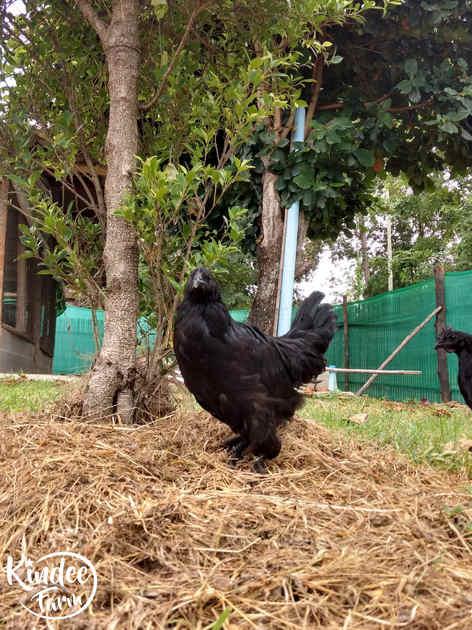 ไก่ดำ เนื้อไก่ดำ สรรพคุณไก่ดำ ไก่ดำตุ๋นยาจีน วิธีทำไก่ดำตุ๋นยาจีน เนื้อไก่ออร์แกนิก เนื้อไก่ออร์แกนิค 32