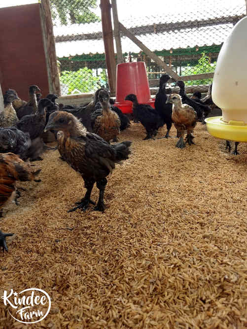 ไก่ดำ เนื้อไก่ดำ สรรพคุณไก่ดำ ไก่ดำตุ๋นยาจีน วิธีทำไก่ดำตุ๋นยาจีน เนื้อไก่ออร์แกนิก เนื้อไก่ออร์แกนิค 6