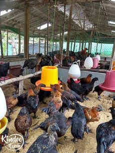 ไก่ดำ เนื้อไก่ดำ สรรพคุณไก่ดำ ไก่ดำตุ๋นยาจีน วิธีทำไก่ดำตุ๋นยาจีน เนื้อไก่ออร์แกนิก เนื้อไก่ออร์แกนิค 4