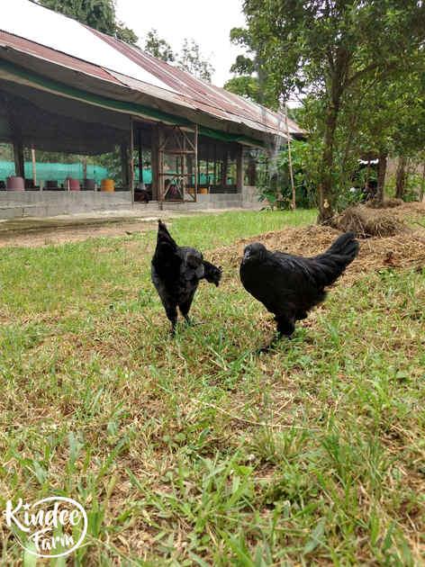ไก่ดำ เนื้อไก่ดำ สรรพคุณไก่ดำ ไก่ดำตุ๋นยาจีน วิธีทำไก่ดำตุ๋นยาจีน เนื้อไก่ออร์แกนิก เนื้อไก่ออร์แกนิค 34