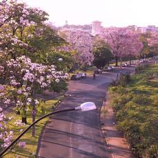 Avenida Engenheiro José Nelson Machado, com os ipês floridos.