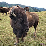 ab-hof-partner-biohof-edibichl-bison-alt