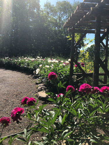 pink and white flowers in the sun