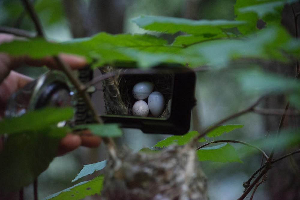 Eggs in a nest, South Okanagan.