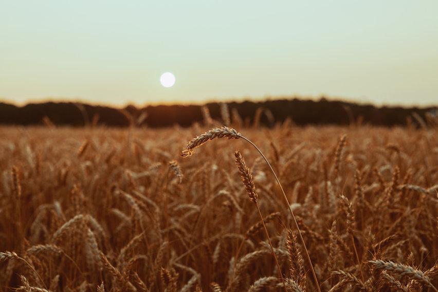 brown-wheat-field-3962864.jpg