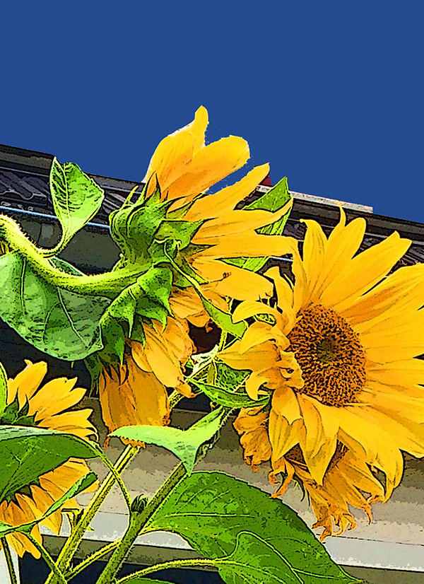 sunflowers bg blue close up 72 dpi.jpg