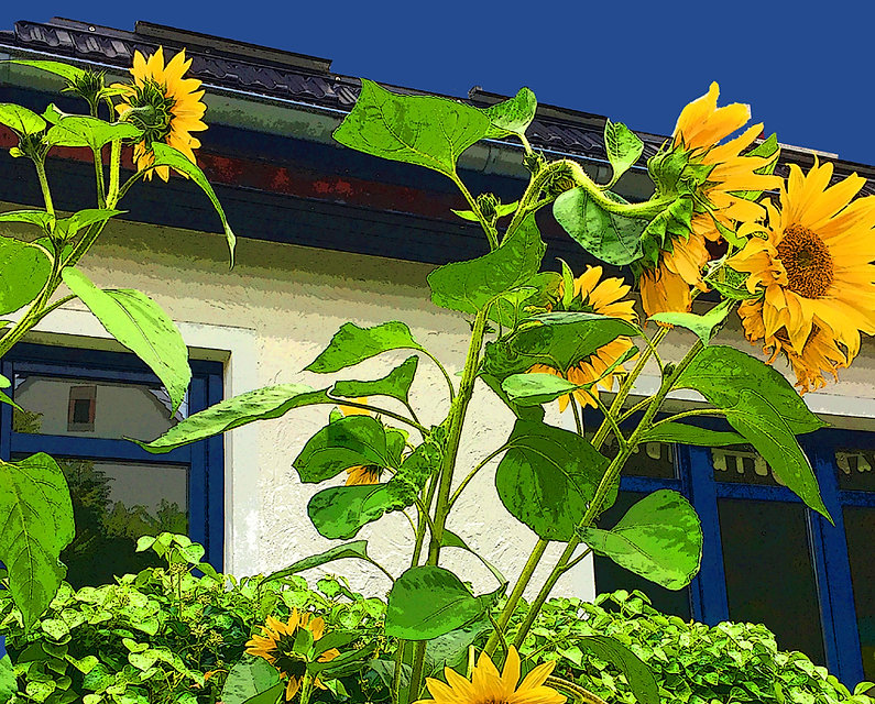 sunflowers bg blue 72 dpi.jpg