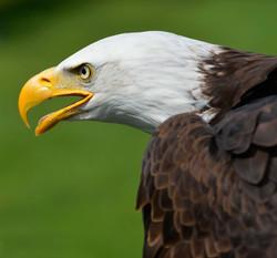 Eagle Adler