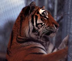 Tiger Zoo Gossau