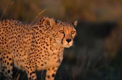 Gepard Toledo