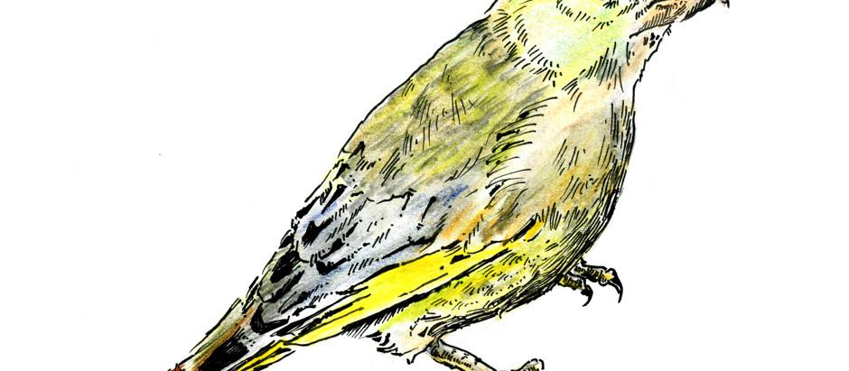Der Grünling: Betrachtet aus der Vogelperspektive #1