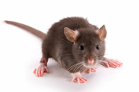 rodent, insect, pest, rodent control, pest control, insect control