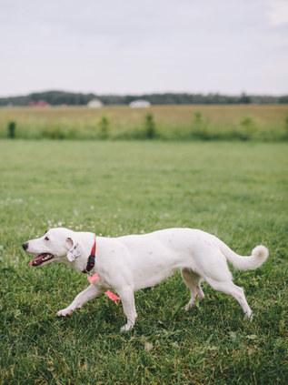 valge-koer