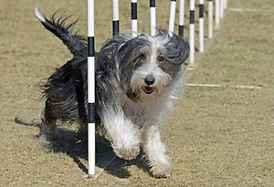 Bearded Collie Dog on Agility Course.jpg