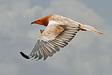 Egyptian Vulture by Paul Donald