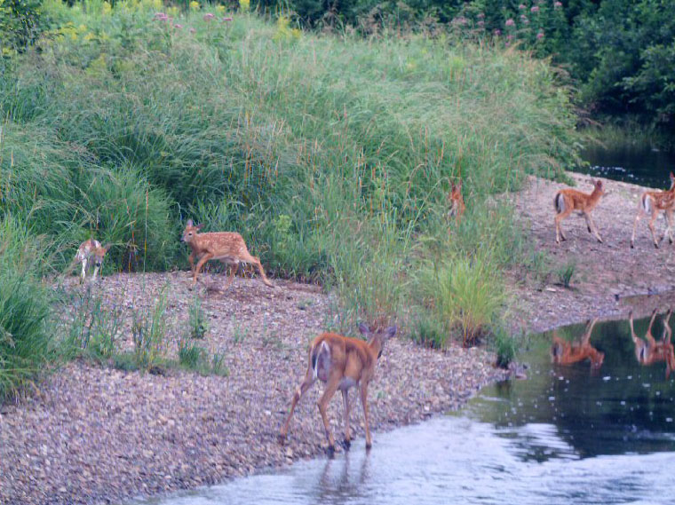 fawns at Renfrew Camping