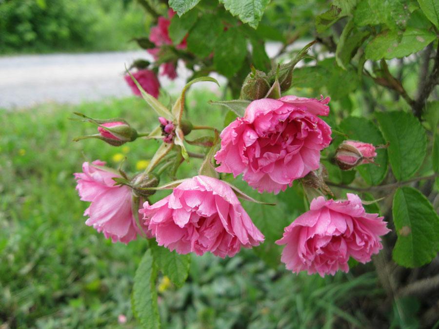 Renfrew Camping wild roses
