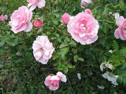 Renfrew Camping tea roses