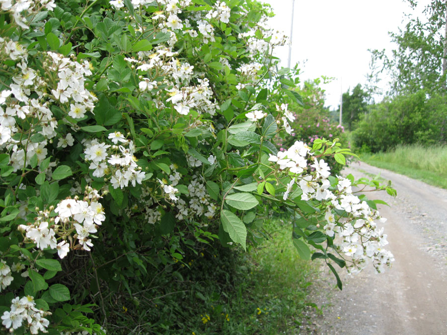 Renfrew Camping white flowers