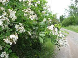 Renfrew Camping white flowers