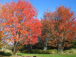maple grove132