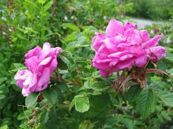 Renfrew Camping roses blossoms