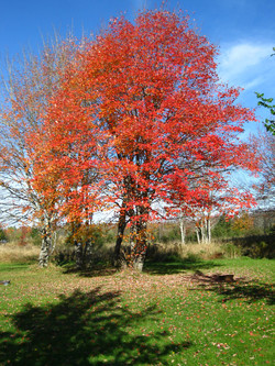 red maple132