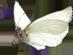 CW-butterfly©Confetti