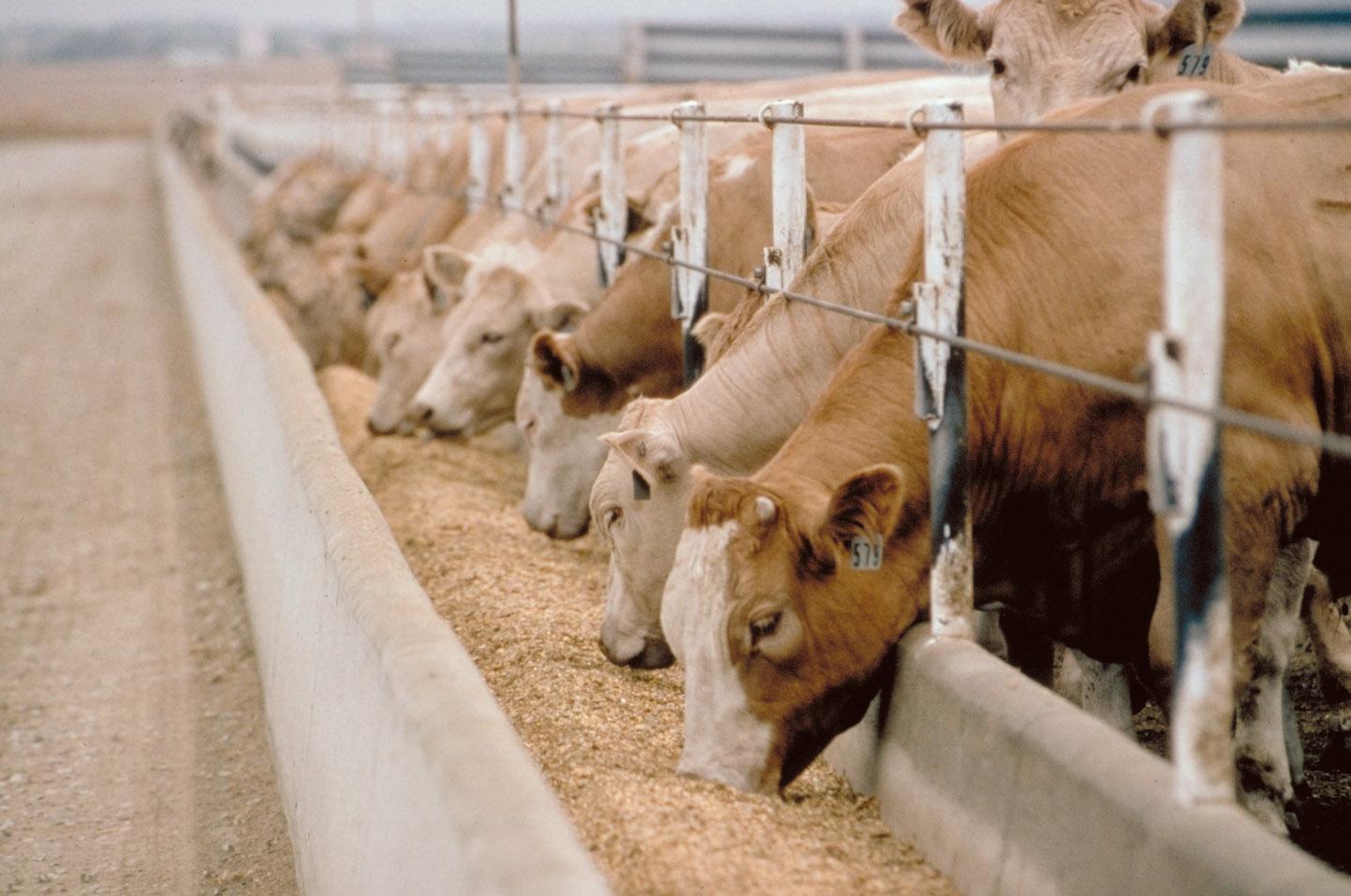 cattle_grain_feed