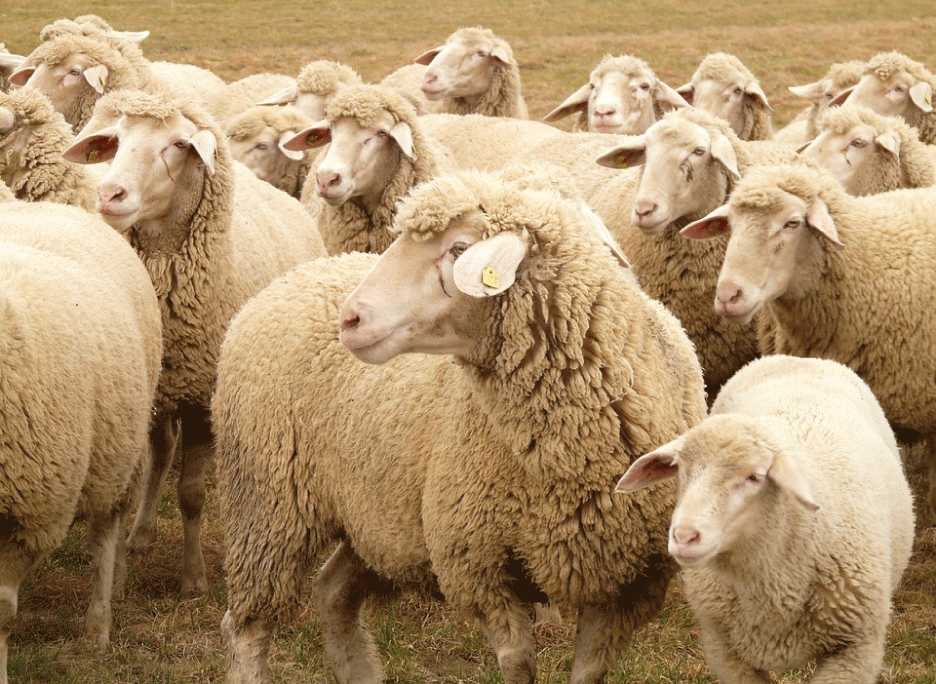 Sheep_FarmVision