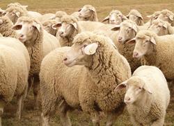 Sheep_FarmVision