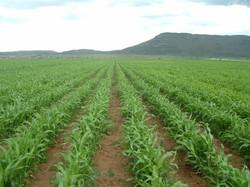 5 Grain sorghum growing