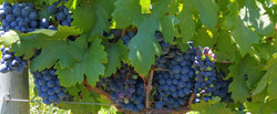 PROJECTS Pinotage-wine-grapes