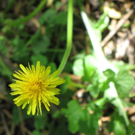10 Facts about Dandelion (Taraxacum officinale)