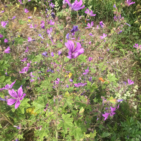 Common Mallow: The most incredible plant I have foraged