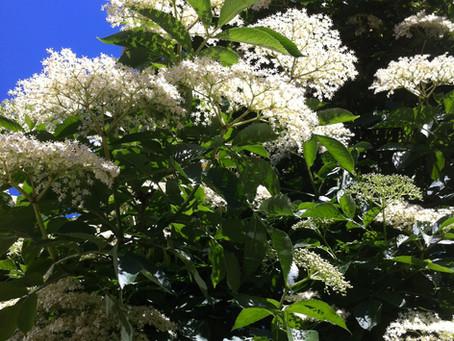The tastiest elderflower cordial