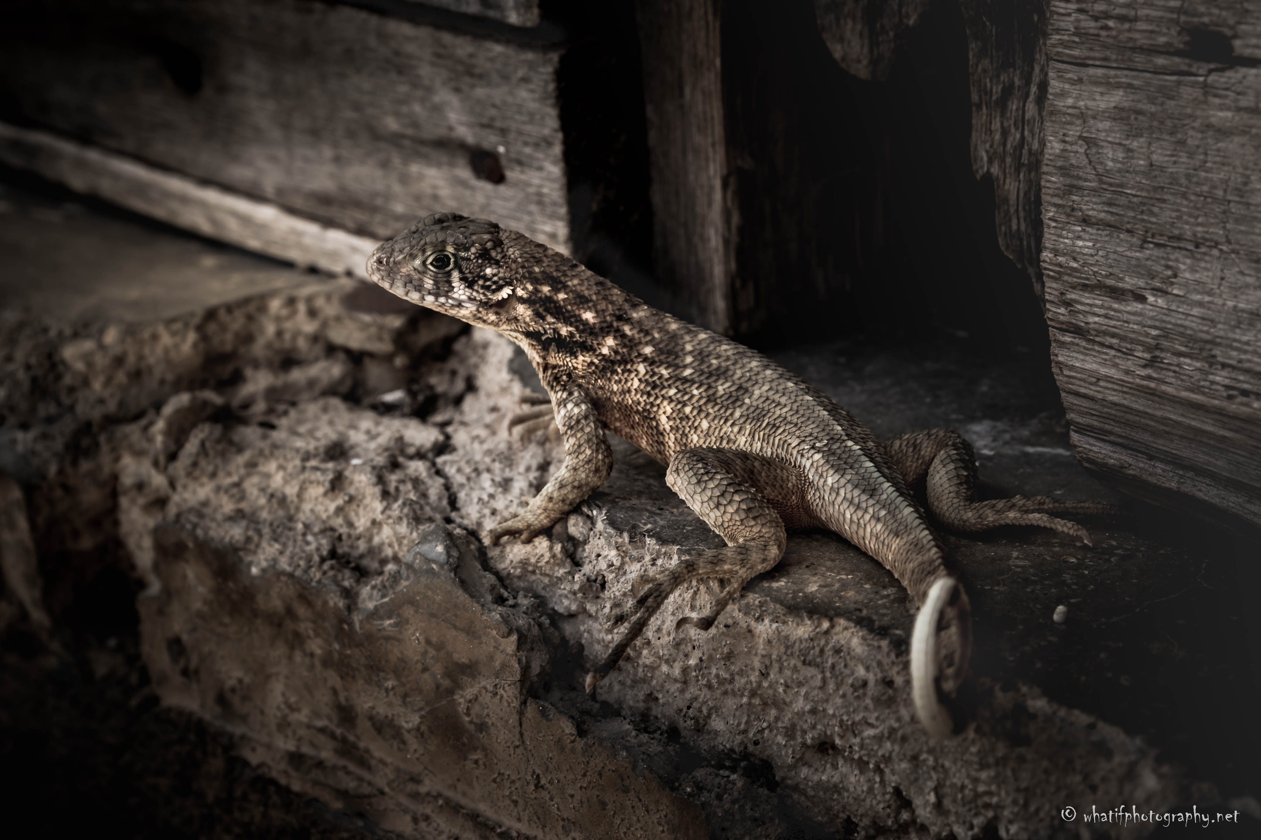 Just a lizard